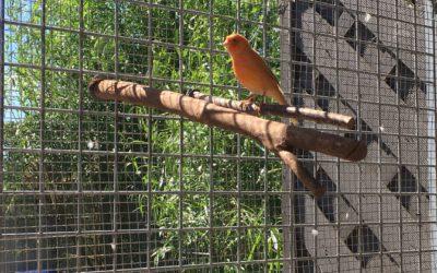 Kanarienvogel zugeflogen